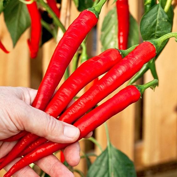 Pepper (Chilli)  Longhorn (1) P10
