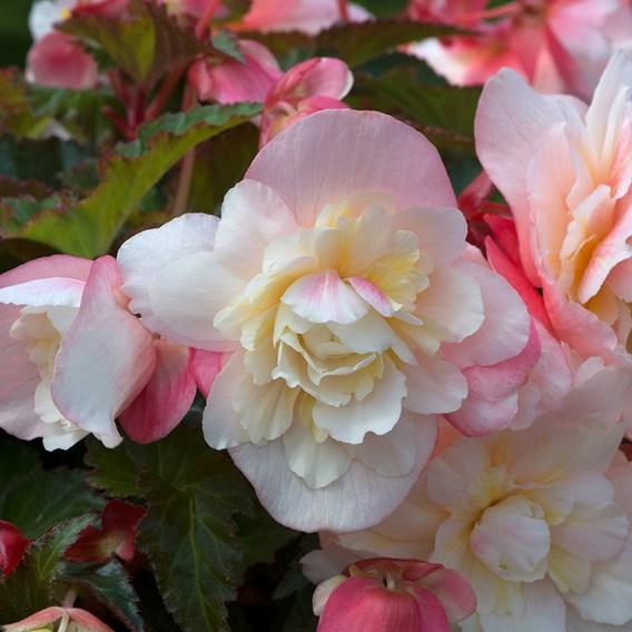 Begonia Sweet Spice Appleblossom (6)