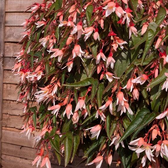 Begonia Starshine Appleblossom (10)