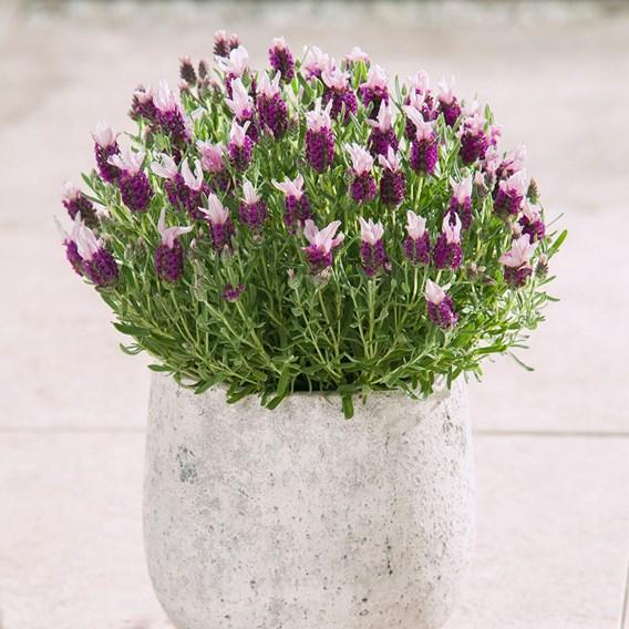 Lavender Bandera (10)
