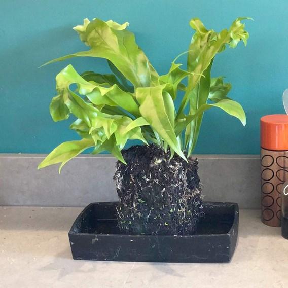 Lava Plant  Microsorum Punctatum Green Flame