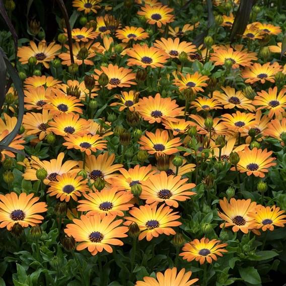 Osteospermum Sunshine Beauty Plants