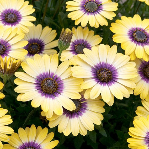 Osteospermum Blue Eyed Beauty Plants