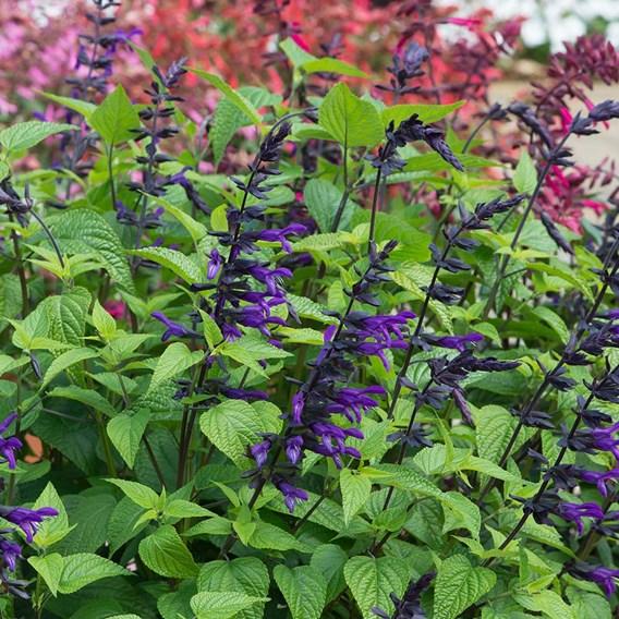 Salvia Purple and Bloom Plants