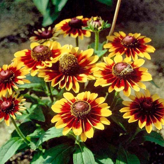Rudbeckia Toto Rustic Plants