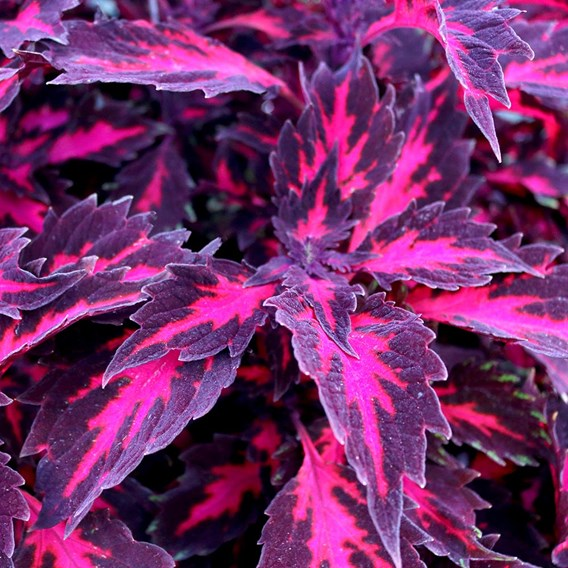 Coleus - Stained Glassworks Royalty
