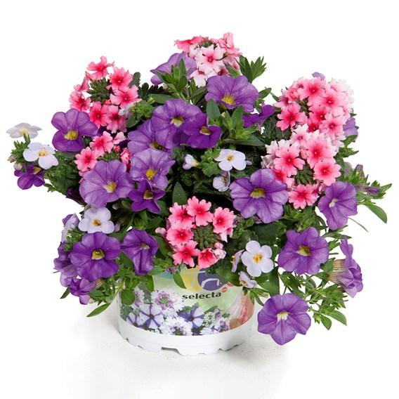 Trixi Blueberry Parfait 19 Plants
