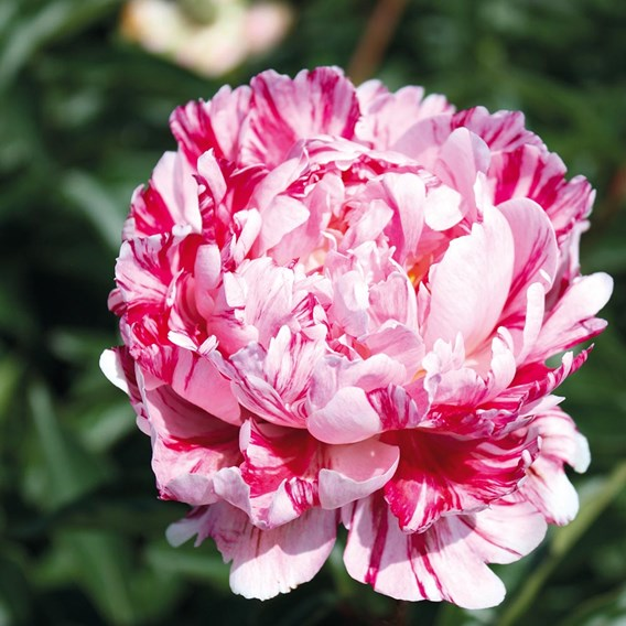 Peony Plant - Candy Stripe 1  bare root