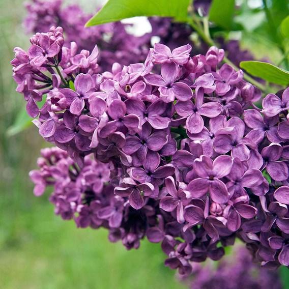 Lilac (Syringa) josikaea