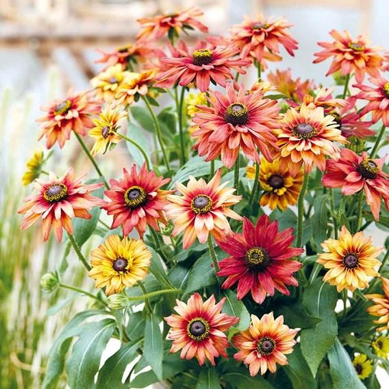 Rudbeckia Plant - Enchanted Embers