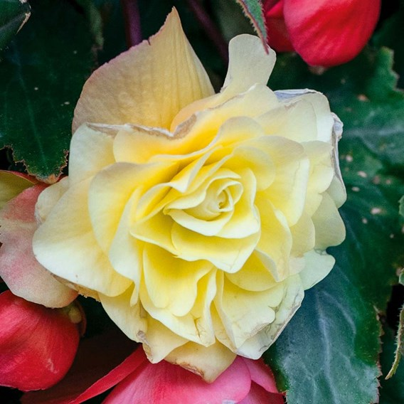 Begonia Plants - Fragrant Falls Lemon