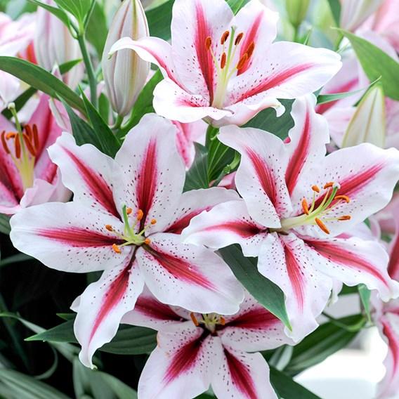 Lily Oriental Dizzy 5 Bulbs