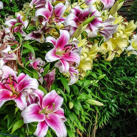 Lily Oriental The Perfume Garden