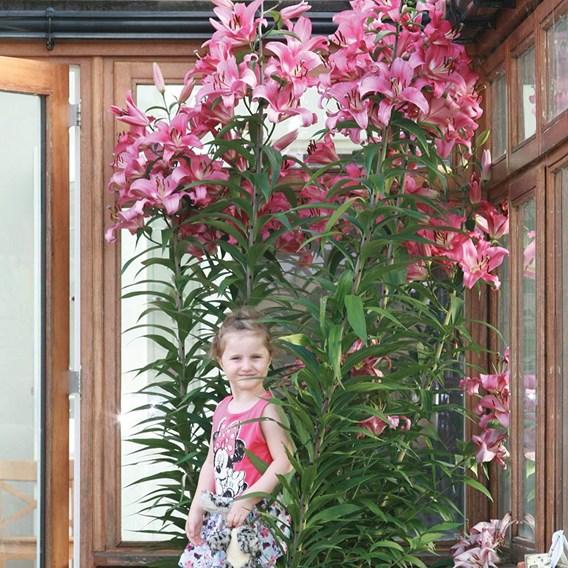 Tree Lily Collection (9) PE/Starburst/YR