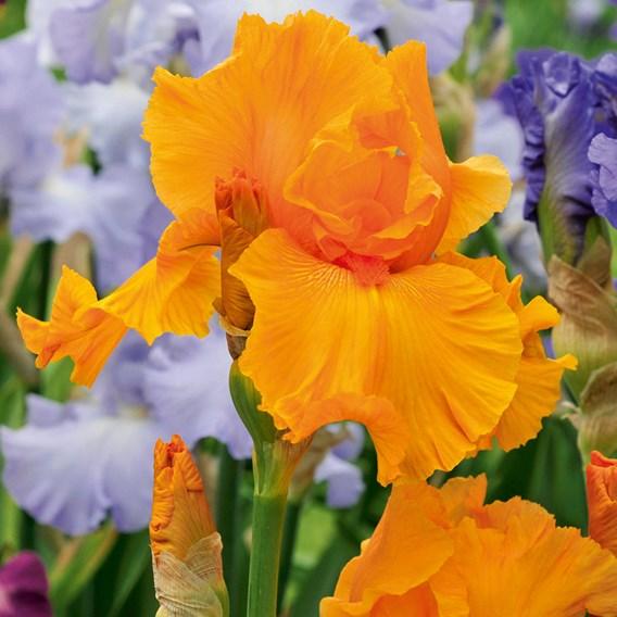 Iris Orange Harvest  (Re-Blooming)