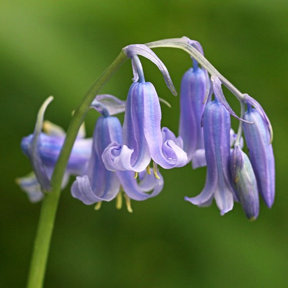 Scilla Nutans (English Bluebell) 25  Bulb In The Green