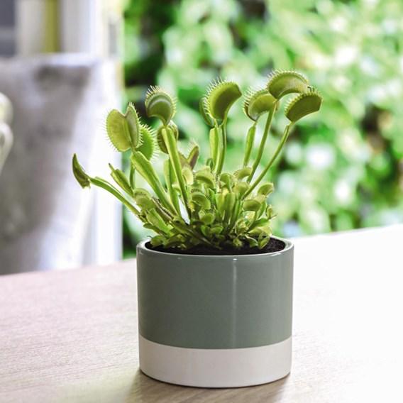 Dionaea Muscipula (Venus Fly Trap) 9cm Pot x 1