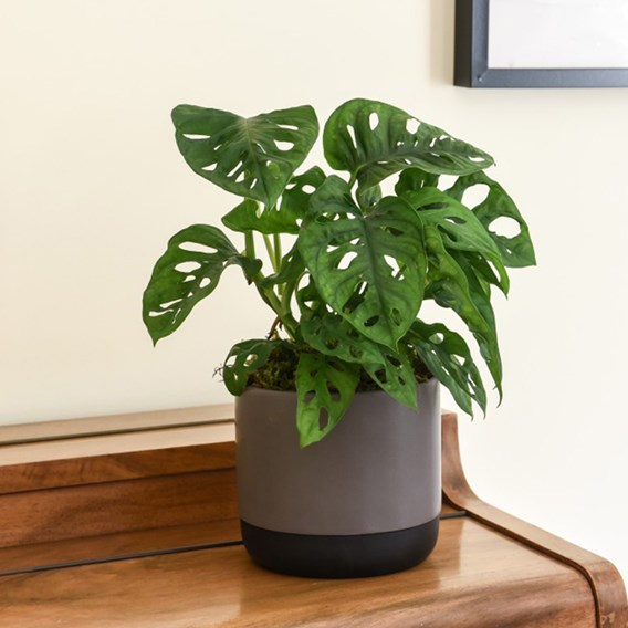 Monstera Monkey Leaf Swiss Cheese Plant 12cm Pot x 1