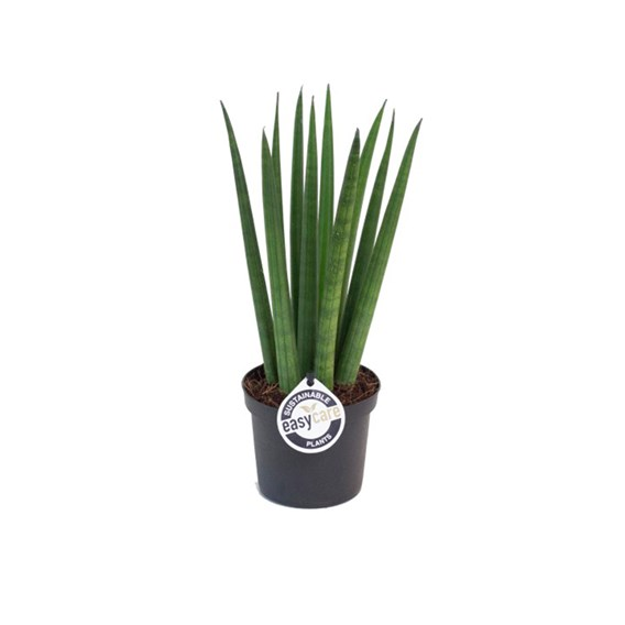 Sansevieria cyl. Straight (African Spear Plant) 9cm Pot x 1