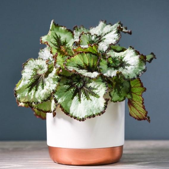 Begonia Rex-Hybrid Escargot 12cm Pot x 1