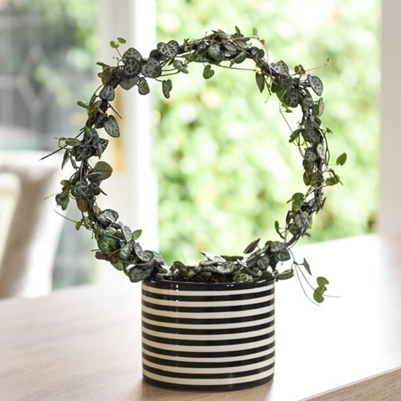 Ceropegia String of Hearts Hoop 11cm Decorative Pot x 1