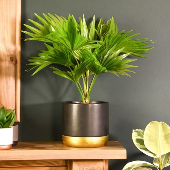 Livistona rotundifolia 12cm Pot x 1