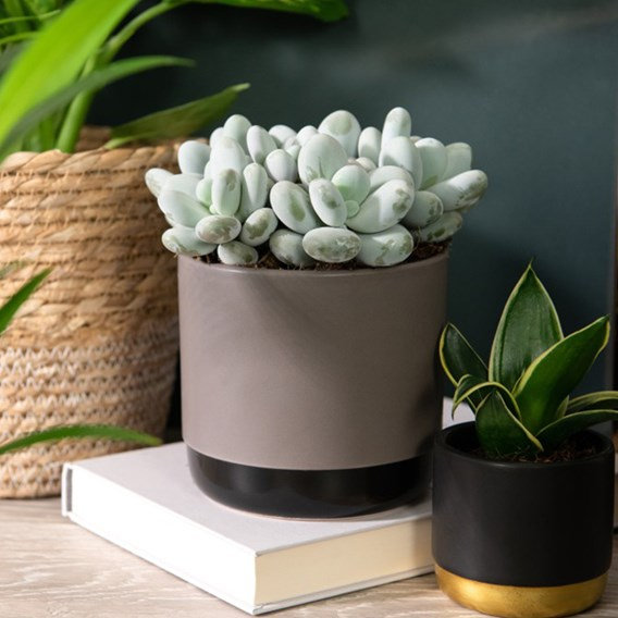 Pachyphytum Oviferum (Hard as Rock) 12cm Pot x 1