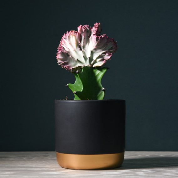Coral Cactus Euphorbia lactea 10.5cm Pot x 1