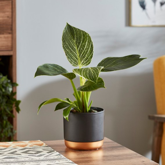 Philodendron White Measure 11cm Pot x1