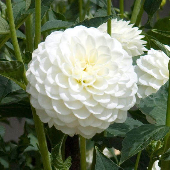 Dahlia Pompon White Aster