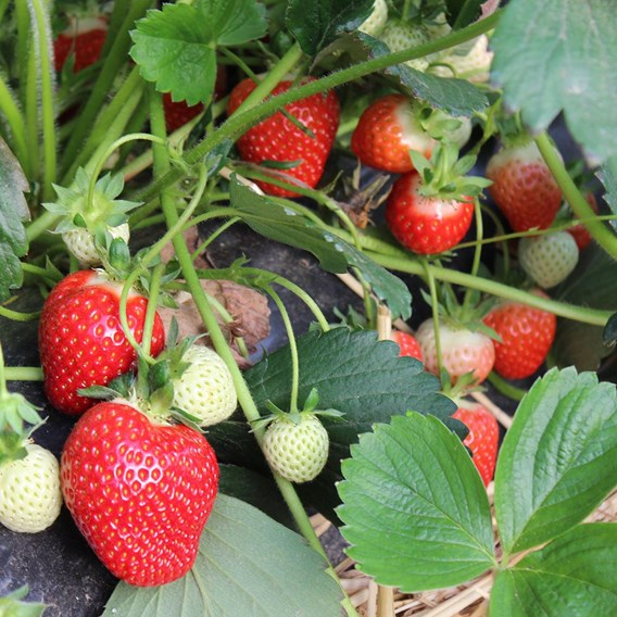 Strawberry Plants - Glorielle (12)