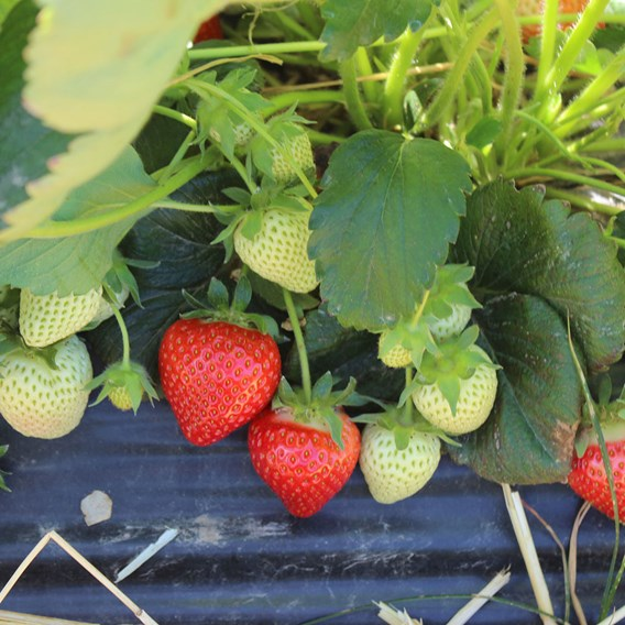 Strawberry Plants - Glorielle (12)