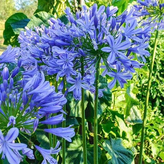 Agapanthus Africanus Blue - 10 Litre Pot