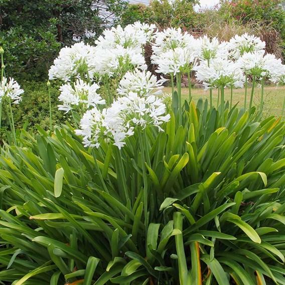 Agapanthus Africanus White - 10 Litre Pot