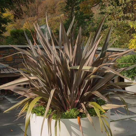Phormium Pink Stripe - 7.5 Litre Pot