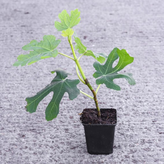 Ficus(Fig) Carica 1/2Std - 5 Litre Pot