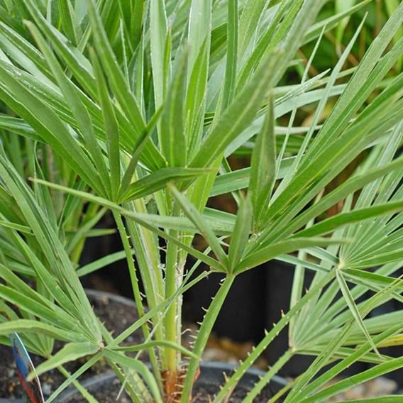 Chamaerops Humilis 60/80Cm - 24Cm Pot