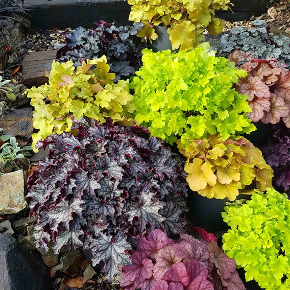 Heuchera Collection 1 Litre Pot x 5