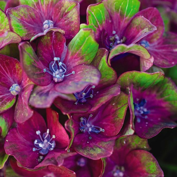 Hydrangea Glam Rock 2 Litre Pot x 1