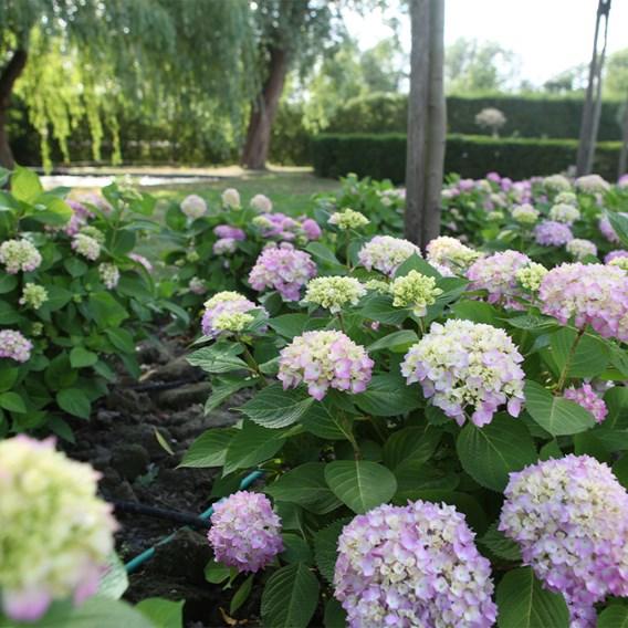 Hydrangea macrophylla Endless Summer® THE ORIGINAL