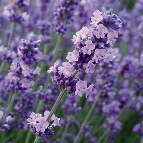 Lavender Angustifolia Melissa Lilac 3 Litre Pot x