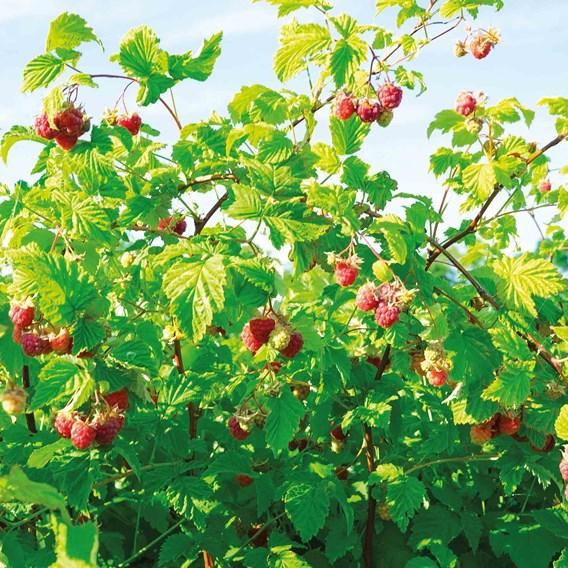 Raspberry (Rubus idaeus) Polka 3L Pot x 1