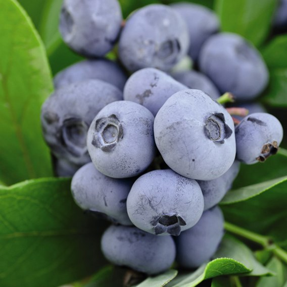 Blueberry (Vaccinium) Chandler