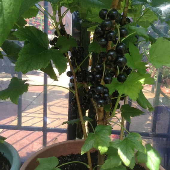 Blackcurrant (Ribes) Ben Connan 3L Pot x 1