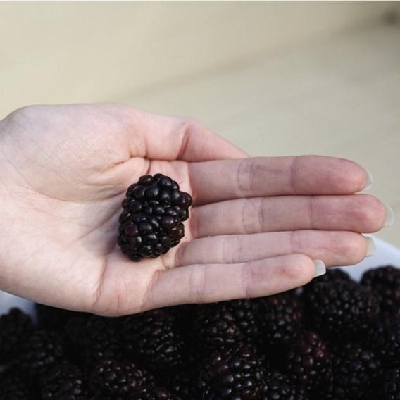 Blackberry (Rubus) Reuben 3L Pot x 1