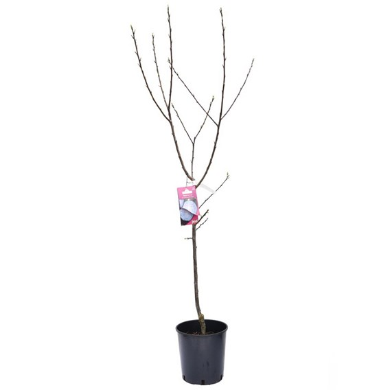 Plum (Prunus) Herman (VVA 1) 12L Pot x 1
