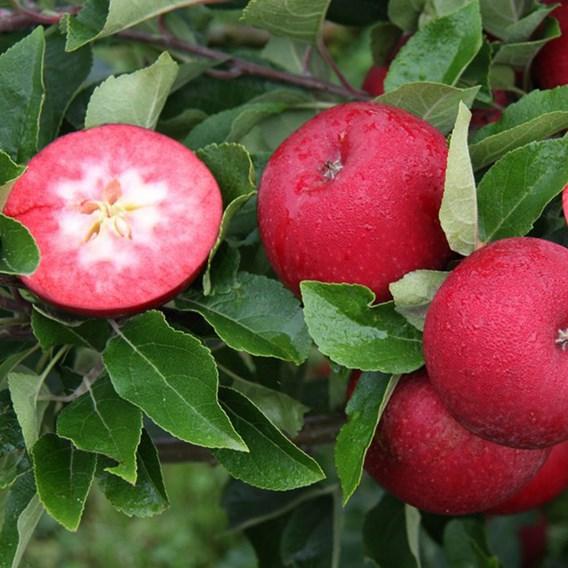 Apple (Malus) Rosette (MM106) 12L Pot x 1