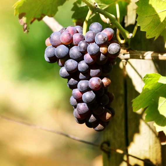 Grape (Vitis) Dornfelder
