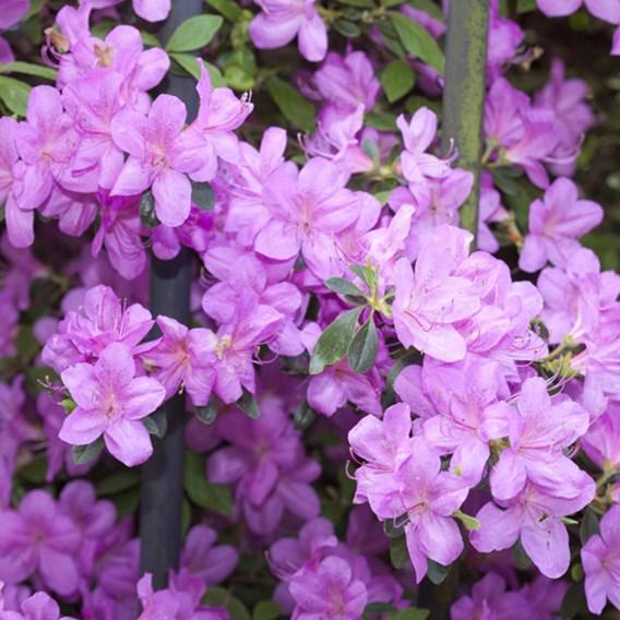 Lilac (Syringa) Dwarf (Standard) 2 Litre Pot x 1