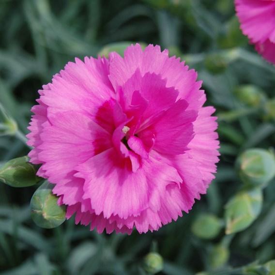 Dianthus Plant - Tickled Pink
